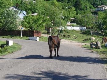Typowy gruziński widok - krowa na środku drogi