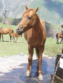 Koń przy monastyrze Cminda Sameba