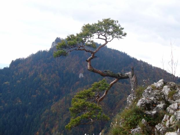 Reliktowa sosna na Sokolicy - jesień