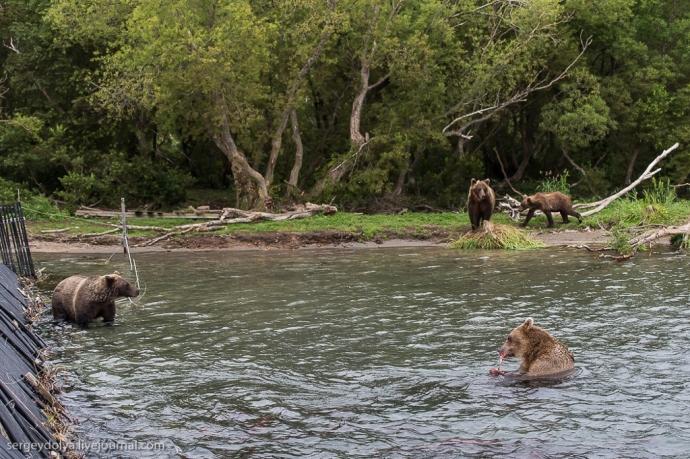 Niedźwiedzie przy pomoście