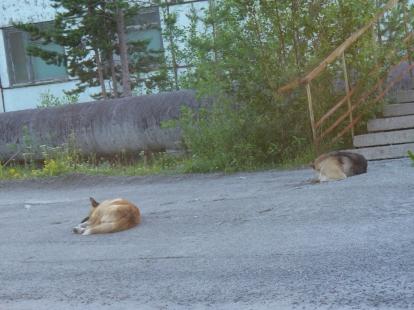 Bezdomne psy w Apatytach