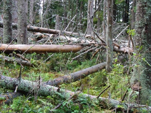 Powalone drzewa przy Perci Przyrodników