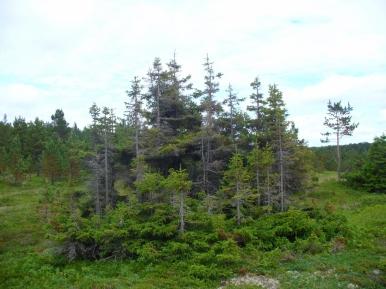 To JEDNO drzewo z WIELOMA korzeniami