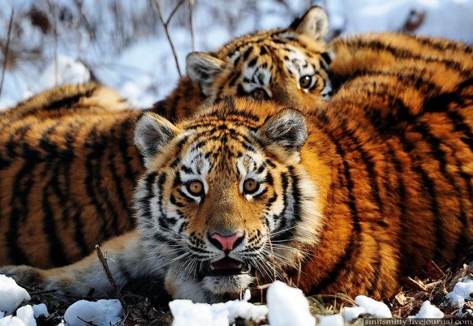 Amurskie tygrysy