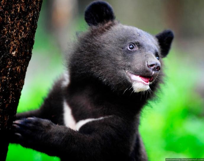 Niedźwiedź himalajski - Potap