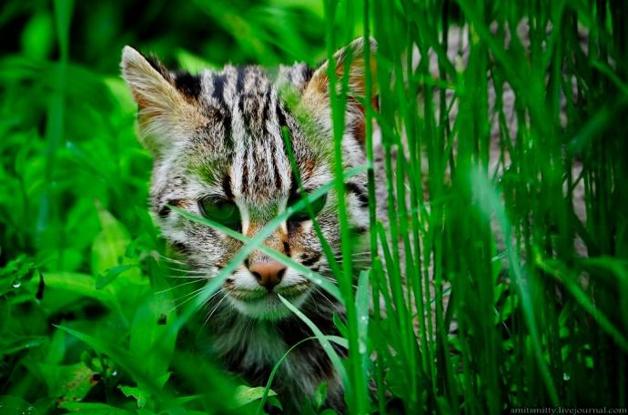Dalekowschodni kot leśny