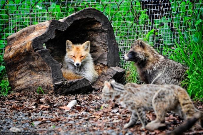 Lis, dalekowschodni kot leśny i szop pracz