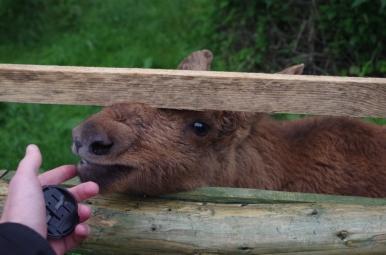 Park dzikich zwierząt w Kadzidłowie - łosiek