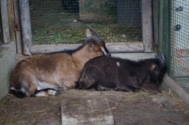 Park dzikich zwierząt w Kadzidłowie - kozy