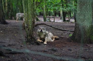 Park dzikich zwierząt w Kadzidłowie - wilk
