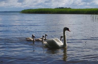 Łabędzia rodzina nad J. Śniardwy