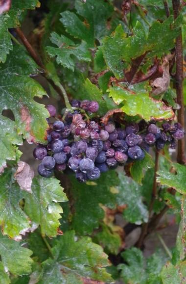 Celje - winorośl na Starym Zamku